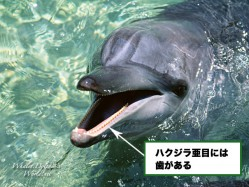 http://whales.dolphins-world.net/archives/differences/cetacea/guide-2.html
